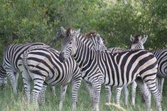 Zebra sull'orologio Fotografia Stock