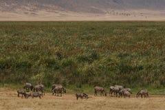 Zebra sullo sbarco dell'erba Fotografia Stock Libera da Diritti