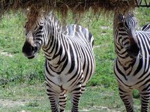 Zebra. During summer; Cape May County, New Jersey Stock Photography