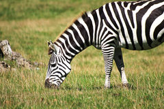 Zebra in the sun Stock Photos