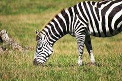 Zebra in the sun. A Zebra grazing in the sunshine Stock Photos