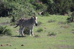 Zebra in the sun Stock Photos