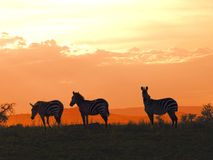 Zebra sundown Royalty Free Stock Image