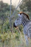 Zebra in sunlight Royalty Free Stock Image