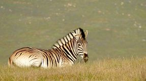 Zebra sunning himself. Solitary Africa animal laying sun Stock Photography