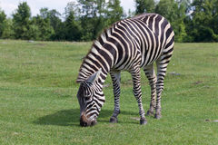 Zebra on the sunny day Stock Images