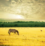 Zebra on sunrise Stock Photos
