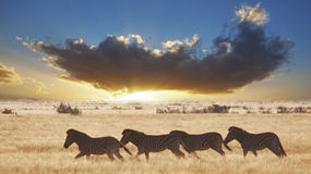 Zebra Sunset Royalty Free Stock Image