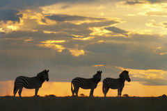 Zebra at sunset. Three zebra silhouetted against a red sky on Nxai Pan, Botswana Royalty Free Stock Photo