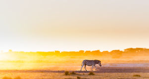 Zebra Sunset Africa Stock Image