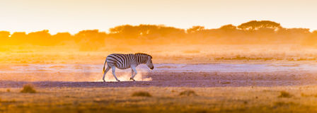 Zebra Sunset Botswana. Zebra at sunset in Botswana, Africa with beautiful sunset light Royalty Free Stock Photo