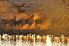 Zebra sunset at Okaukeujo, Namibia Stock Photography