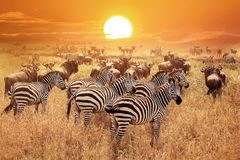 Zebra at sunset in the Serengeti National Park. Africa. Tanzania.  stock photos