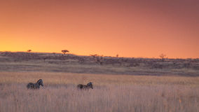 Zebra Sunset stock image