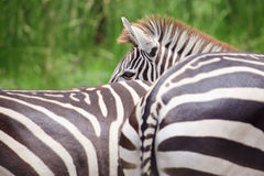 Zebra sveglia del burchell da un giardino zoologico di safari Fotografia Stock