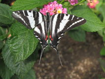 Zebra Swallowtail 2. Zebra Swallowtail (Eurytides Marcellus) gathering nectar Stock Images
