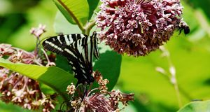 Zebra swallowtail. And bee share milkweed flower Stock Photos