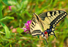 Zebra swallowtail butterfly. The zebra swallowtail is a butterfly with distinctive black and white markings and elongated tails on its hind wings Royalty Free Stock Image
