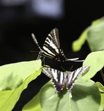 Zebra Swallowtail Butterfly. Two Zebra Swallowtail Butterfly are playing around Royalty Free Stock Photo