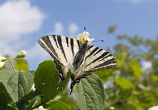 Zebra Swallowtail Butterfly. A beautiful Zebra Swallowtail butterfly (Protographium marcellus) on a jasmine flower Stock Photography