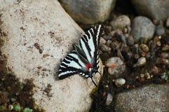 Zebra Swallowtail Butterfly Stock Photos