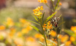 Zebra swallowtail butterfly, Eurytides marcellus Royalty Free Stock Images