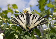 Zebra Swallowtail Butterfly. A beautiful Zebra Swallowtail butterfly (Protographium marcellus) on a jasmine flower Royalty Free Stock Images