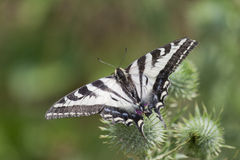 Zebra Swallowtail Butterfly Sunbathing. In the summer sun with lush green background Stock Photography