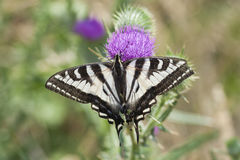 Zebra Swallowtail Butterfly Sunbathing on a Thistle. Zebra Swallowtail butterfly sunbathing in the summer sun on a purple thistle Royalty Free Stock Photography