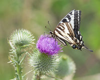Zebra Swallowtail Butterfly Sunbathing on a Thistle Stock Images