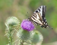 Zebra Swallowtail Butterfly Sunbathing on a Thistle. Zebra Swallowtail butterfly sunbathing in the summer sun on a purple thistle Stock Images