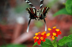 Zebra Swallowtail hover lands on Lantana Stock Image