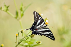 A Zebra Swallowtail perched. A Zebra Swallowtail butterfly perched on a roadside flower Royalty Free Stock Images
