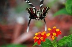 Zebra Swallowtail unosi się ziemie na Lantana Obraz Stock