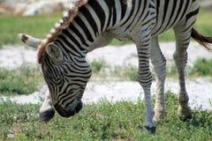 Zebra swatting flies royalty free stock photography