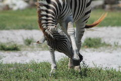 Zebra swatting Royalty Free Stock Image