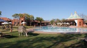 Zebra am Swimmingpool nahe Victoria Falls lizenzfreie stockfotos