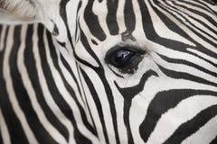 Zebra szczegółu oko Zdjęcie Stock