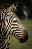 Zebra& x27 ; tête de s Photographie stock libre de droits