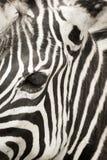 Zebra& x27 ; tête de s Images stock