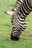 Zebra& x27 ; tête de s Image stock