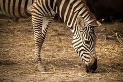 Zebra& x27 ; tête de s Photos stock