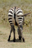 Zebra tail Royalty Free Stock Images