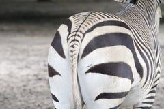 Zebra tail Royalty Free Stock Photos