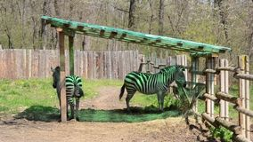 Zebra Tail Wagging. Two zebras are wagging tail, at a stable. Zebras are several species of African equids (horse family) united by their distinctive black and stock video
