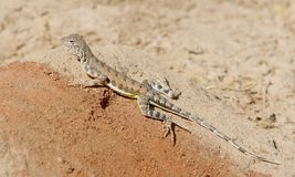 Zebra-tailed Lizard. Entire on rock stock image