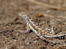 Zebra-tailed Lizard in Mexico Stock Photos
