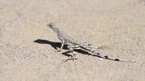 Zebra-tailed lizard Royalty Free Stock Image