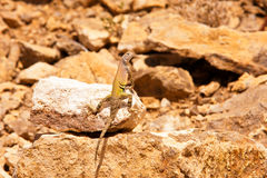 Zebra Tailed Lizard-1 Royalty Free Stock Images