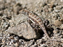 Zebra-tailed Lizard on a Rock Royalty Free Stock Image